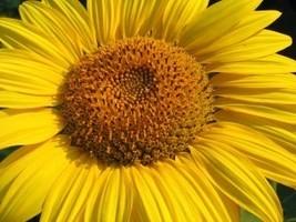 Sunflower-Home Fragrance Oil-Warmer / Burner Oi... - $6.00