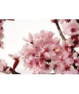 Cherry Blossom-Home Fragrance Oil-Warmer / Burner Oil- 2 Fluid Ounces - $6.00