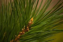 Pine Needle-Home Fragrance Oil-Warmer / Burner ... - $6.00