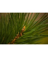 Pine Needle-Home Fragrance Oil-Warmer / Burner Oil- 2 Fluid Ounces - $6.00