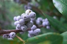 Bayberry - Home Fragrance Oil - Warmer / Burner... - $6.00