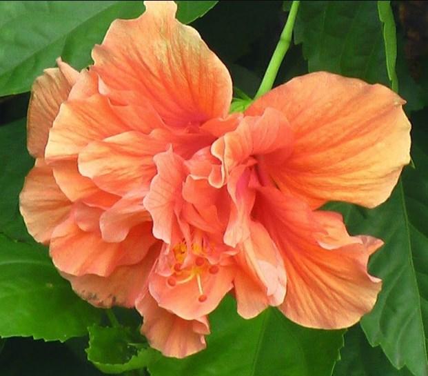 Orange Rare Cymbidium Orchid Plant African Cymbidiums Flores 100 pcs Seeds