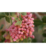 5 seeds - Pistachio Nut Tree Pistacia Vera Fruit Red #SFB15 - $17.99