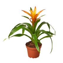 "Live Plant - Guzmania Bromeliad 'Orange' - 4"" Pot - Houseplant - Outdoor Living - $65.99"