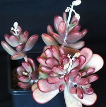 SHIPPED From US_Cotyledon Orbiculata Higginsiae, ice plant succulent 20 SEEDS-EC - $46.99