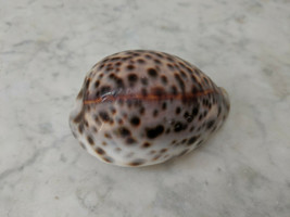 """Tiger Cowrie Cypraea Tigris Seashell 3"""" Florida - Beach Decor - Vintage ... - $14.00"""