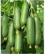 10 Variety Seeds - Beit Alpha Cucumber Persian or Lebanese Burpless Seed... - $12.99+