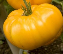 YELLOW BRANDYVINE TOMATO SEEDS * LARGE * SOLID * GREAT SLICER * 15 PER P... - $3.46