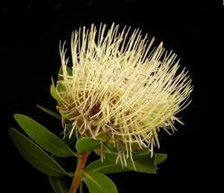 Protea Nitida - Indigenous South African Protea - 5 Seeds - $39.00