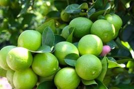Live Tree Lemon Of Puerto Rico 2''to 3'' - Yard, Garden & Outdoor Living - $65.99