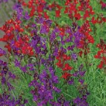 Ship From Us 40 Seeds Rhythm & Blues Mix Linaria Licilia,Diy Sb Flower Seeds - $27.99