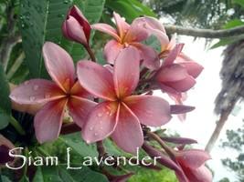 Free Bonus + 3 tip Cutting Plumeria Thai *Siam Lavender* Fragrant Rare Exotic - $20.95