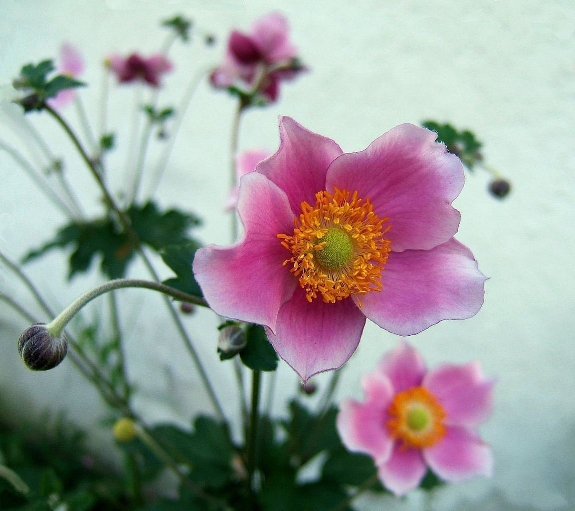 Primary image for Chinese Anemone 10 Seeds Japanese Thimbleweed,Anemone hupehensis
