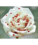 50pcs Very Rare Red Spot White Rose Shrub Flower True Seeds Is Graceful - $14.99