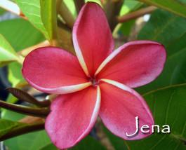 SALE Very Rare & Exotic ~JENA~ Red Thai Plumeria Frangipani cutting - $21.95