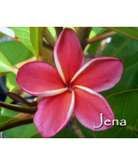 SALE Very Rare & Exotic ~JENA~ Red Thai Plumeria Frangipani cutting - $21.95