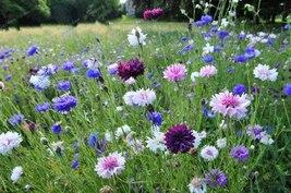 50seeds Chrysanthemum Flower Indoor Or Outdoor Bonsai Pot - $2.88