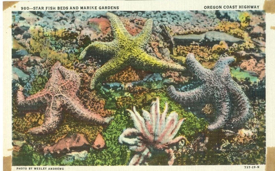 Star Fish Beds and Marine Gardens, Oregon Coast Highway, unused linen Postcard