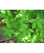 Organic Native Plant, Virginia Creeper, - $12.00