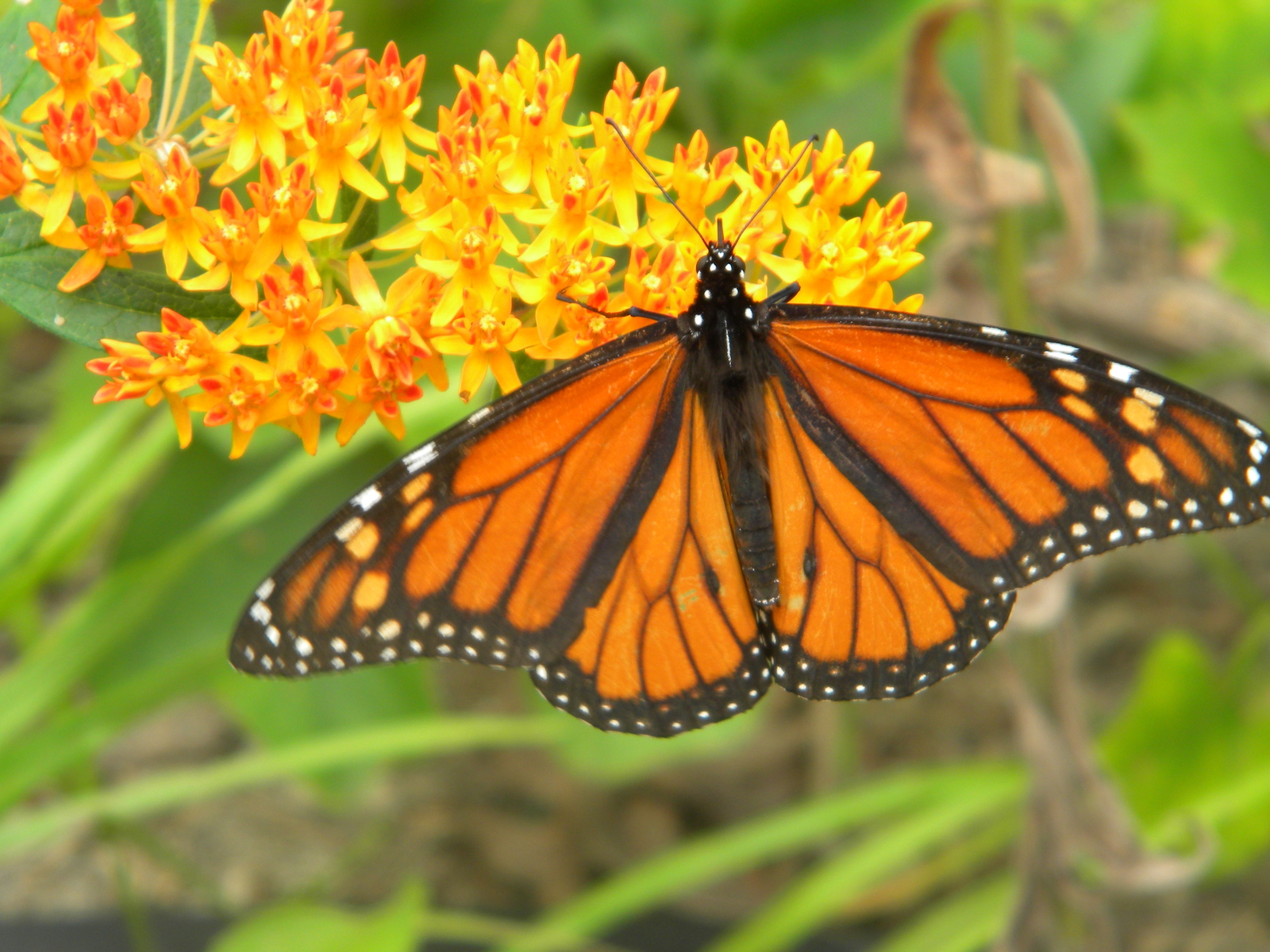 Primary image for Organic Native Plant, Butterflyweed, Asclepias tuberosa, Butterflies