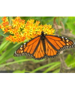 Organic Native Plant, Butterflyweed, Asclepias tuberosa, Butterflies - $3.25