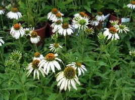 Organic Native Plant, Echinacea, Pow Wow White  - $3.50