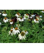 Organic Native Plant, Echinacea, Pow Wow White  - $3.50