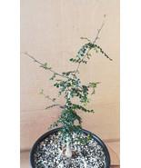 Operculicarya decaryi Unique Pimpled Bark Bonsai Tree 48 - $24.70