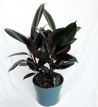 "Burgundy Rubber Tree Plant - Ficus - An Old Favorite - 4"" Pot - $11.99"