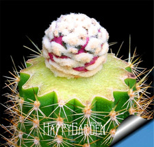 New Arrival!10 Seeds/bag Ball cactus seeds rare succulent plant seeds Bo... - $3.99