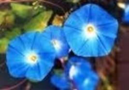 Flower - Morning Glory - Heavenly Blue - Non-Hybrid - St. Clare Heirloom... - $1.99