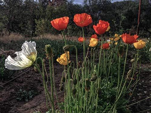 Primary image for 500 Seeds Iceland Poppy Flower (Papaver nudicaule)