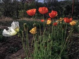 500 Seeds Iceland Poppy Flower (Papaver nudicaule) - $19.96