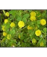 200 Clover (Sweet Yellow) Seeds - $8.99