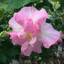 19 pcs/pkt Confederate Rose Tree Seeds For Planting - $22.77