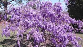 Purple Wisteria image 3