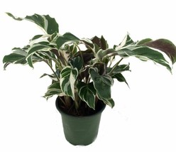 Tropical Calathea Fusion White Peacock Plant Home Office Easy To Grow in... - $28.90