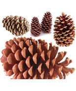 Florida Pine Cones - either Natural for Arts an... - $14.99 - $22.99