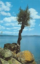 The Witch Tree, Grand Portage, Minnesota, 1961 used Postcard  - $7.99
