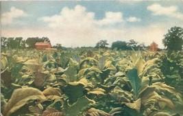 Tobacco as Grown in Virginia, old unused Postcard  - $5.99