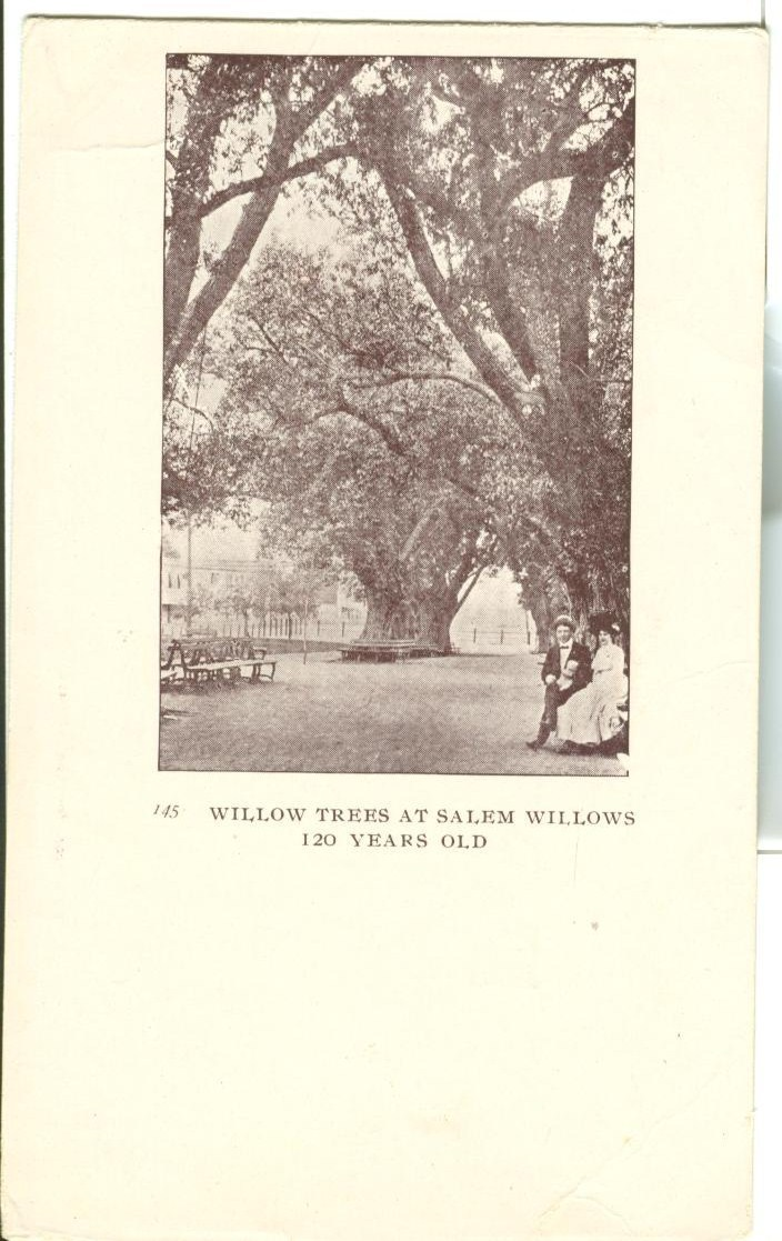 Willow Trees at Salem Willows 120 Years Old, Massachusetts, early 1900s postcard