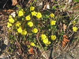 10 Potentilla pusilla Seeds, Alpine Plant Seeds - $8.95