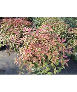 Nandina, Harbour Dwarf Heavenly Bamboo plants, 100 plants, FREE delivery - $295.02