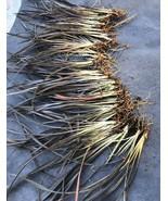 Jack Sprat Phormium tenax Dwarf PURPLE NEW ZEALAND FLAX 25 Bare Root tkgc - $63.00