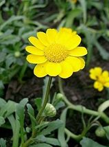 SHIP FROM US 50 Seeds Yellow Daisy,DIY Decorative Plant AM - $39.99