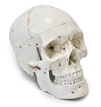 Walter Products B10221 Numbered Human Skull Model, Life Size, 3 Parts, 8... - $28.20