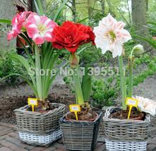 100/bag Amaryllis Flower Seeds Barbadoslily Plant Seeds Hippeastrum Seeds - $8.46