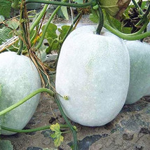 winter melon ash gourd wax gourd ceylon seeds for home garden non GMO - $3.99
