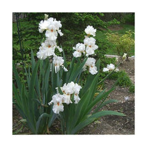 1 Plant in 1 Quart Pot Immortality Iris Reblooming Flower  - $59.99