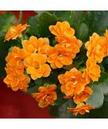 Kalanchoe Blossfediana Live Plants - Orange #STR11 - $70.17